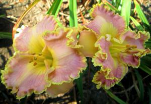 ORCHID GILDED RUFFLES