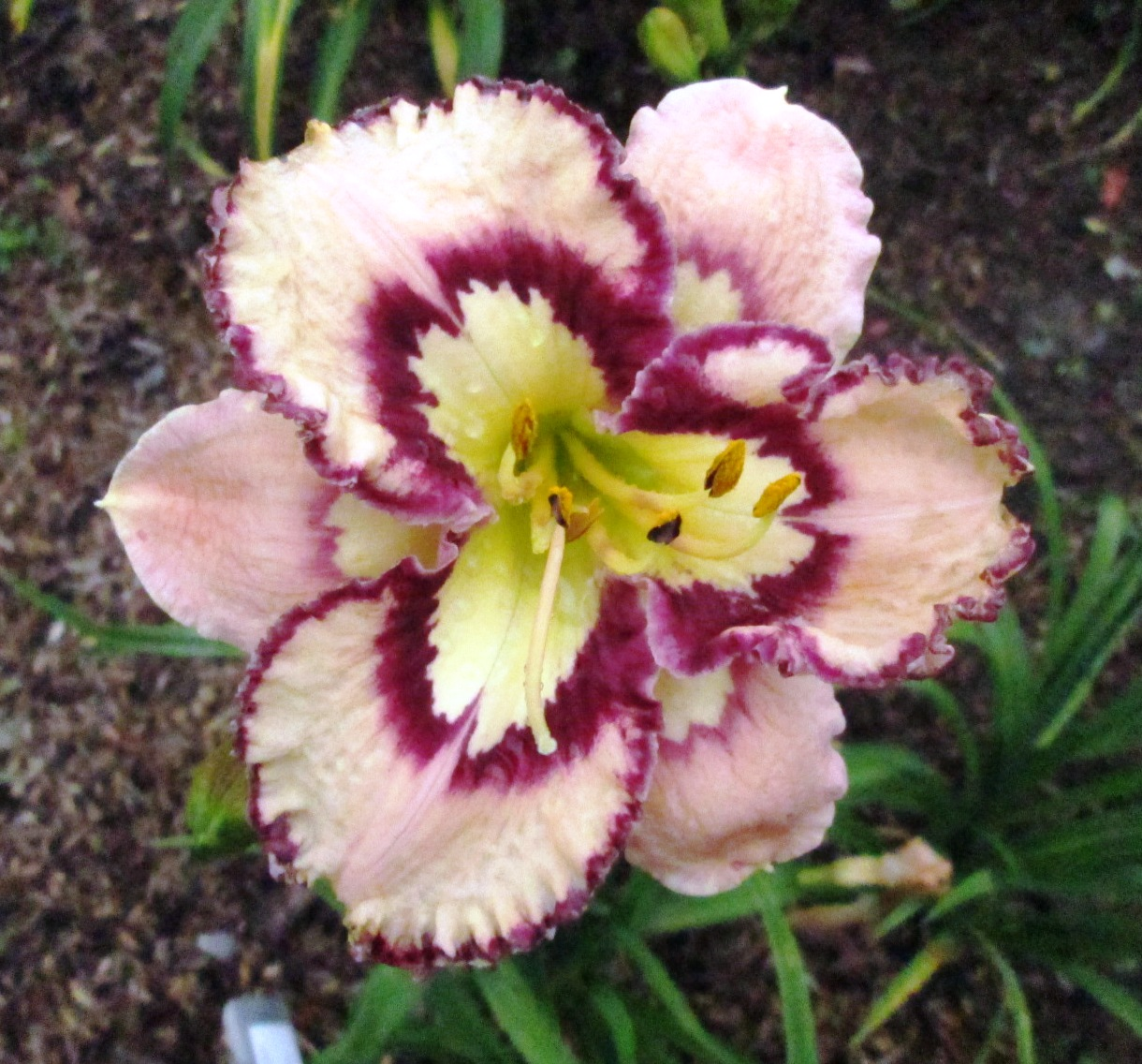 Petal pusher daylilies bella isabella bella isabella 2 izmirmasajfo