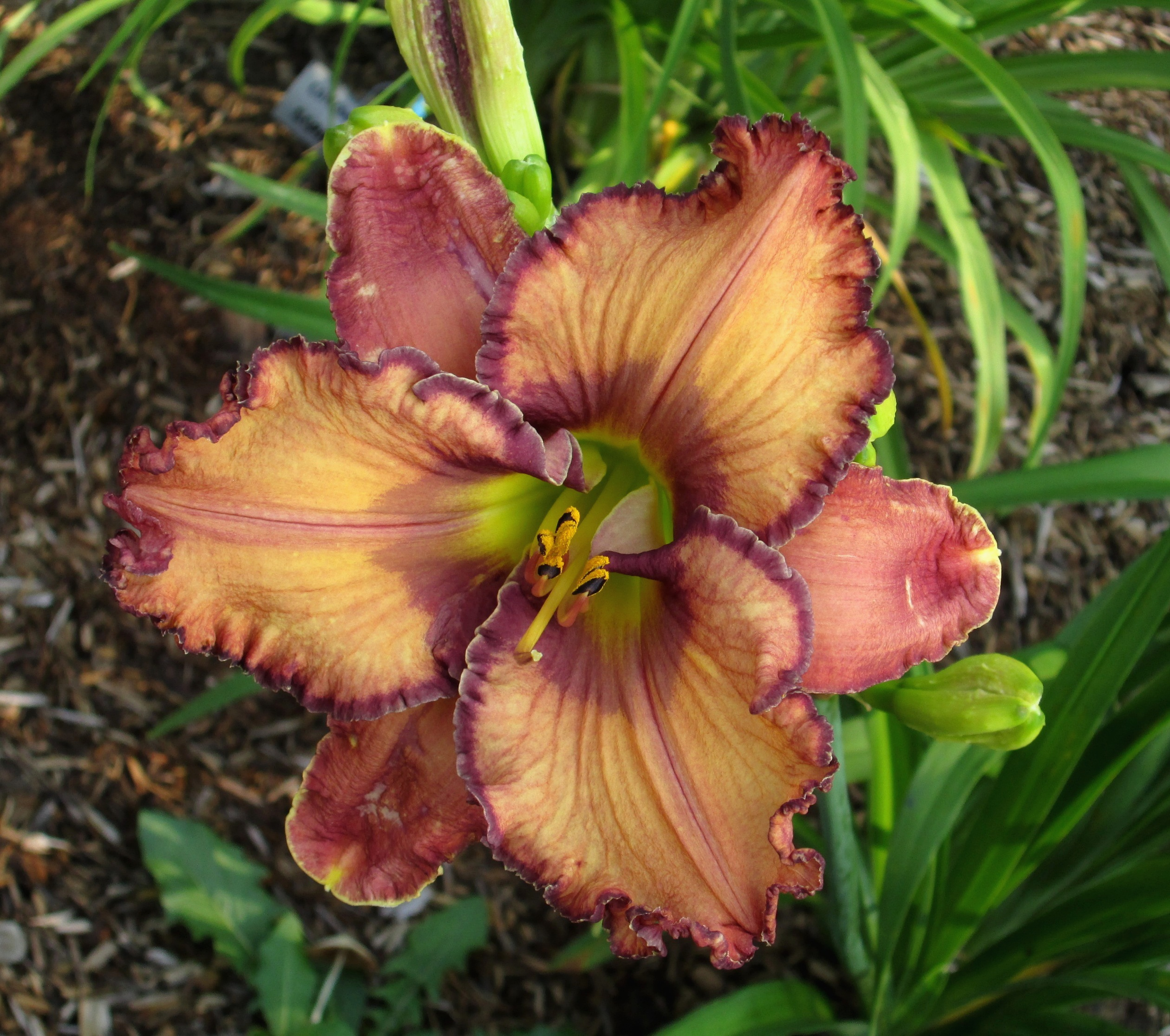 PETAL PUSHER DAYLILIES - ANDIE'S CHOCOLATE SHOPPE